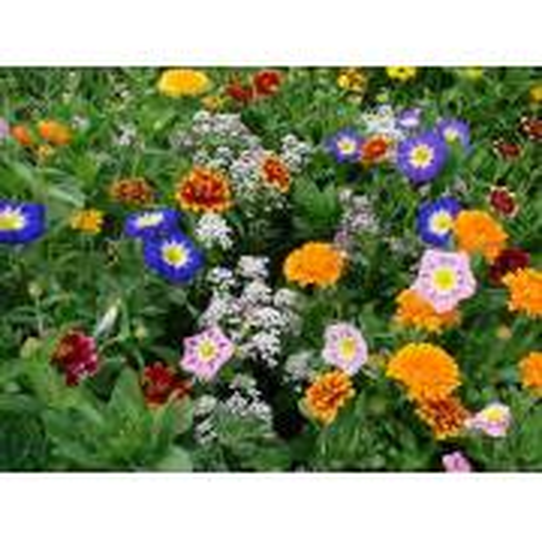 Floraison Annuelle Couvre-Sol Contraste - Sachet de 1 kg